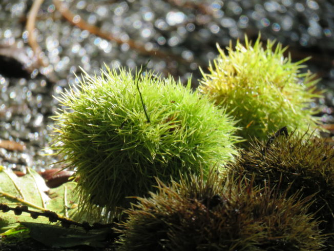 Sweet Chestnuts - photo by Steve Crummay, Explore in Cornwall